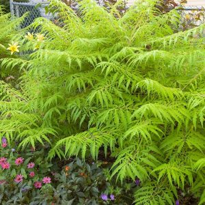 Tiger Eyes® Staghorn Sumac