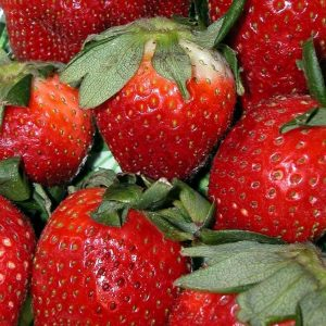 Fort Laramie Strawberry