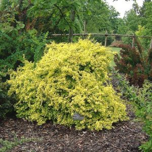 Sunsation® Barberry