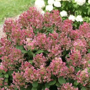 Little Quick Fire® Hydrangea
