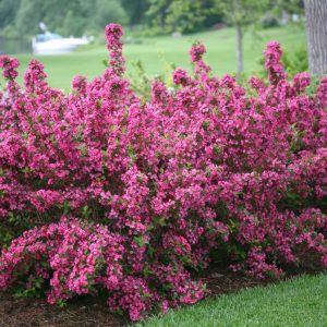 Sonic Bloom® Pink Reblooming Weigela