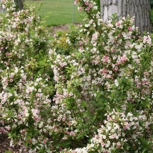 Sonic Bloom® Pearl Reblooming Weigela
