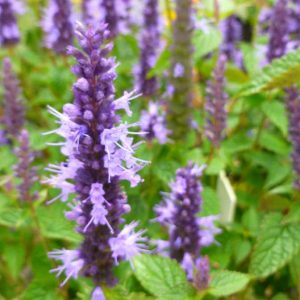 Little Adder Anise Hyssop