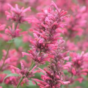 Red Fortune Anise-Hyssop