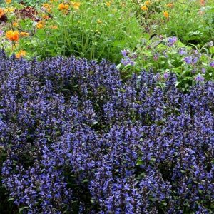 Blueberry Muffin Bugleweed