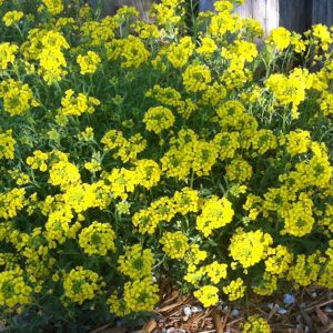 Golden Spring Alyssum