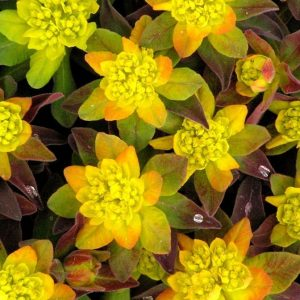 Bonfire Cushion Spurge