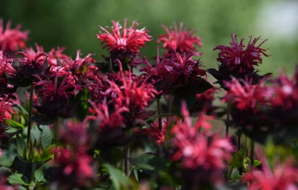 Pocahontas Red Rose Bee Balm